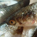 В Таганрогском заливе задержали браконьеров, выловивших более полтонны рыбы